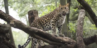 spotted leopard in jacksonville zoo and gardens